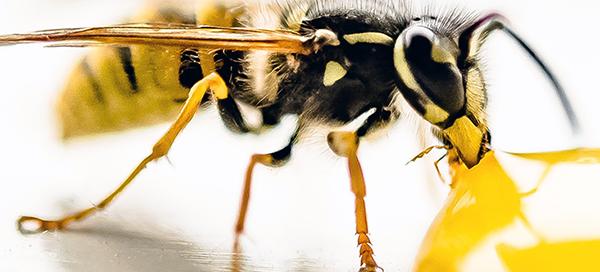 Wespenplage beim Essen