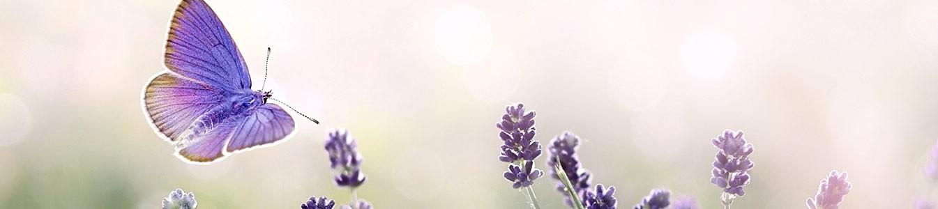 Schmetterling im Lavendelfeld
